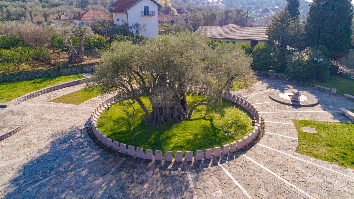 Old olive tree - Mirovica